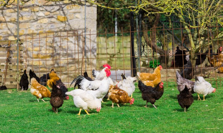 guide to raising chickens by hen house