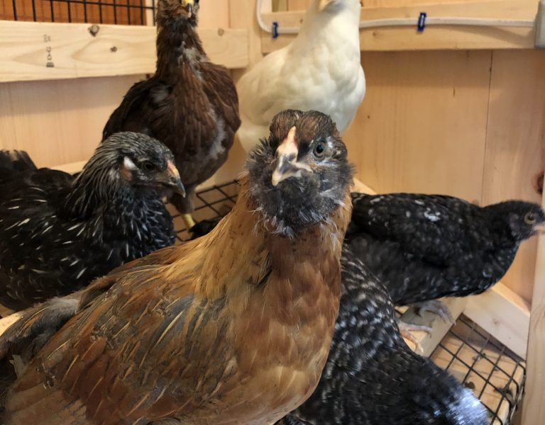 chickens in a chicken coop in connecticut