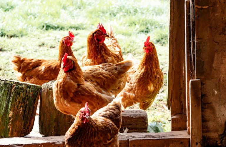 cleaning your chicken coop