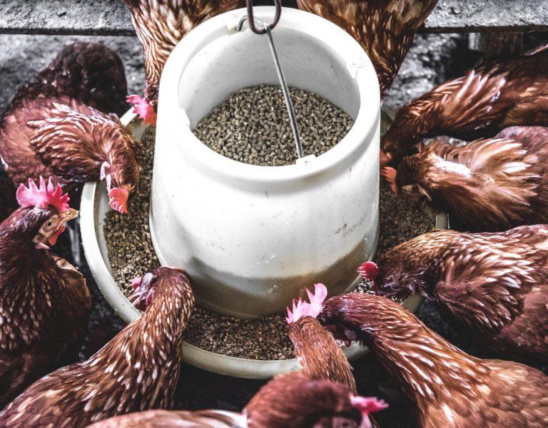 feeding keep chickens warm in winter