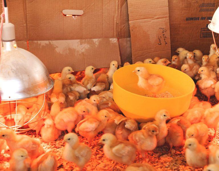 heat keep chickens warm in winter
