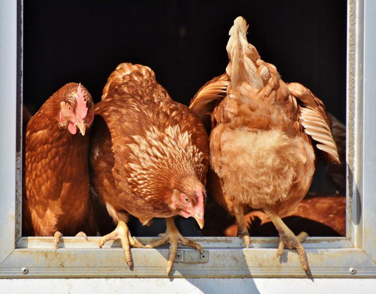 chicken 3662513 1920
