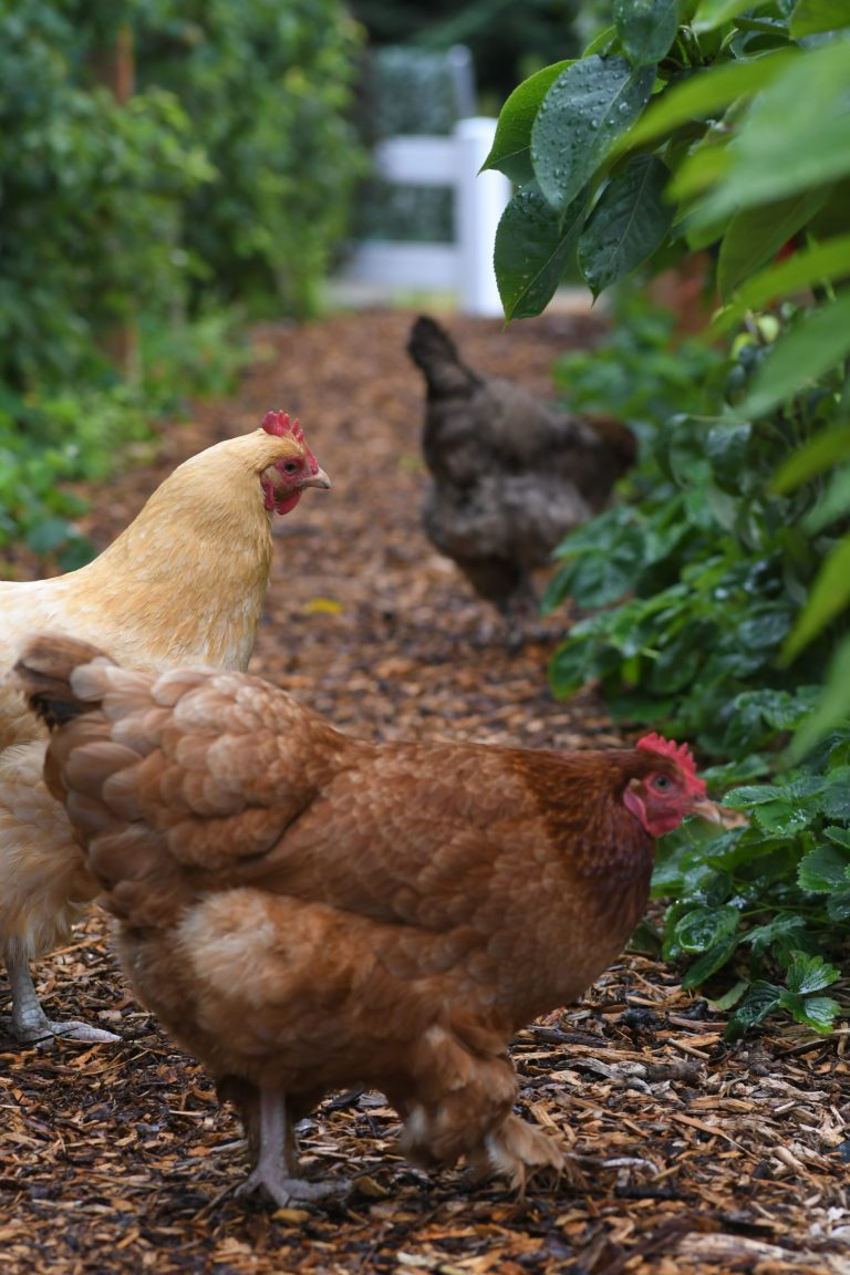 guide to raise chickens hen house collection