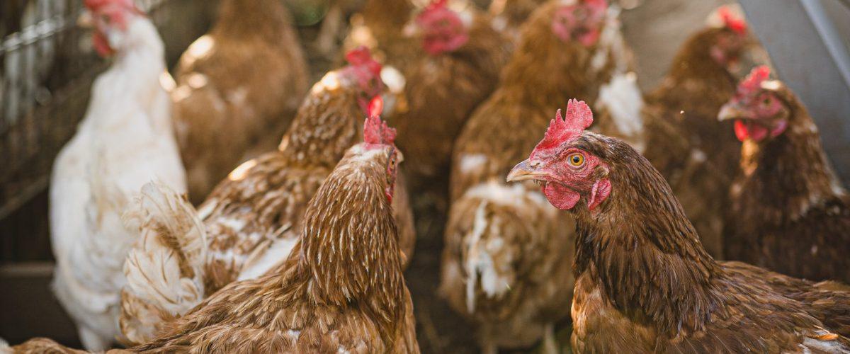 raising backyard chickens 2