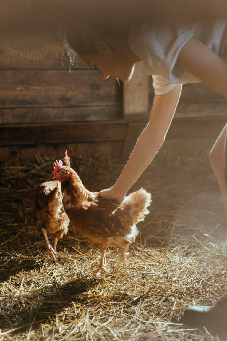 raising backyard chickens faq
