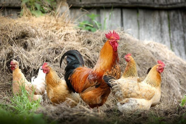 easy clean chicken coops chickens 1